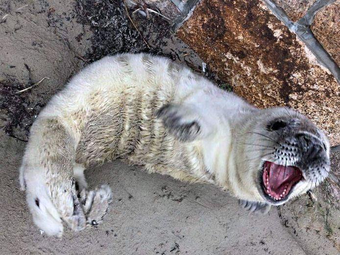 Een babyzeehond ziet er dan wel schattig uit, maar kan flink bijten.