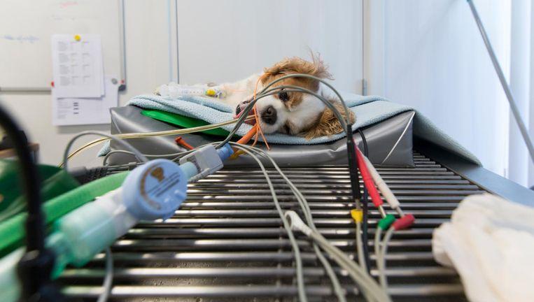 Een hondje op de operatietafel. De kosten van een gecompliceerde ingreep kunnen oplopen tot vele duizenden euro's. Beeld Hollandse Hoogte
