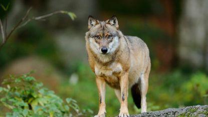 Maatregelen tegen wolf voor 80 procent gesubsidieerd door overheid