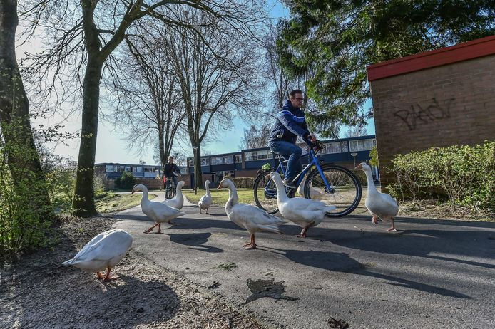 De ganzen maken het fietsers soms lastig om over het fietspad te rijden.