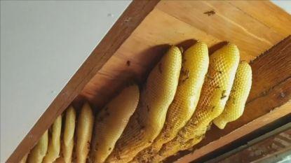 Gigantisch nest met 60.000 bijen verwijderd uit plafond van huis in Australië