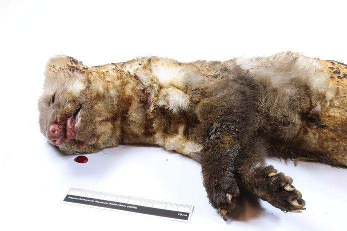 De marter die dinsdag een grote stroomstoring veroorzaakte in de Achterhoek wordt opgenomen in de collectie van het Natuurhistorisch Museum Rotterdam.