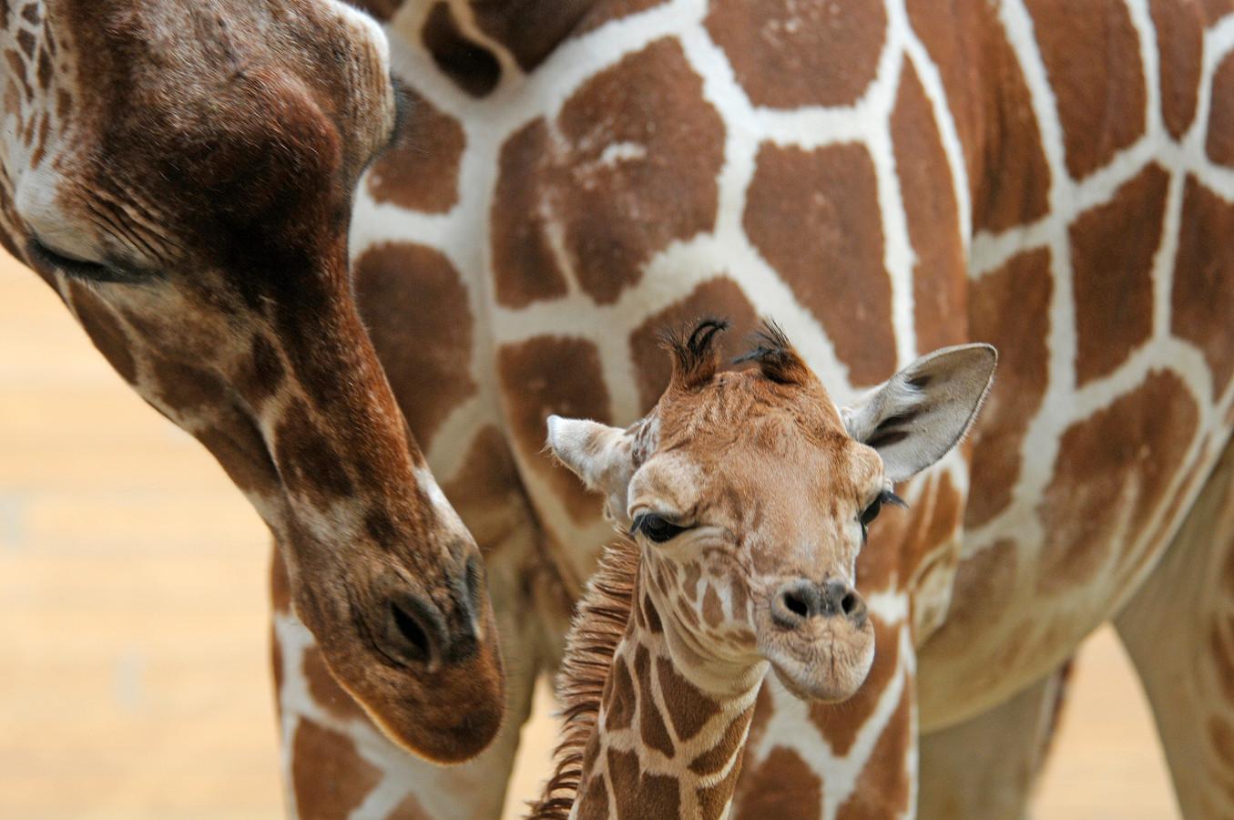 Girafje Maartje en haar moeder.