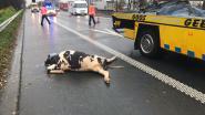 Twee koeien sterven na val uit vrachtwagen op E313