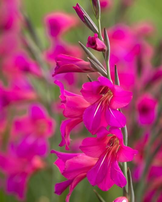 Gladiolus byzantinus.