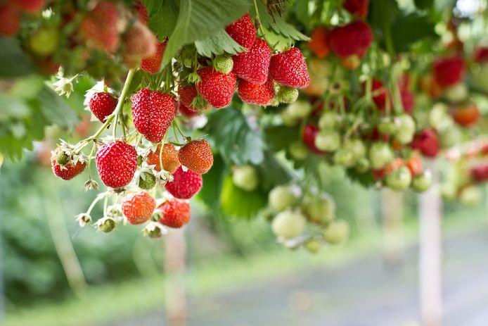 Augustus en september zijn goede maanden voor het planten van aardbeien.