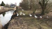 Géén domme ganzen: deze diertjes laten zich niet vangen!