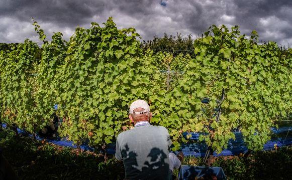 """""""De druif die momenteel wordt geplukt is de Seigerdruif. De druiven Chardonnay, Pinot Gris en Pinot Noir zullen in de tweede helft van september worden geoogst, gemiddeld gezien is dit pas begin oktober."""""""