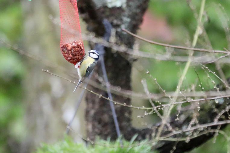 Mezen behoren tot de meest getelde vogelsoorten tijdens het Vogelweekend.