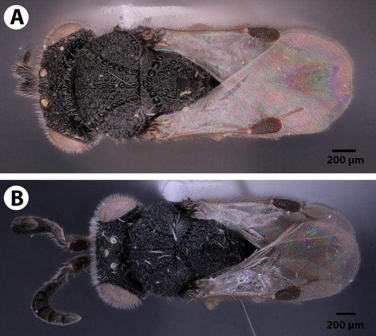 De parasiet van bovenaf (A is een mannetje, B een vrouwtje).
