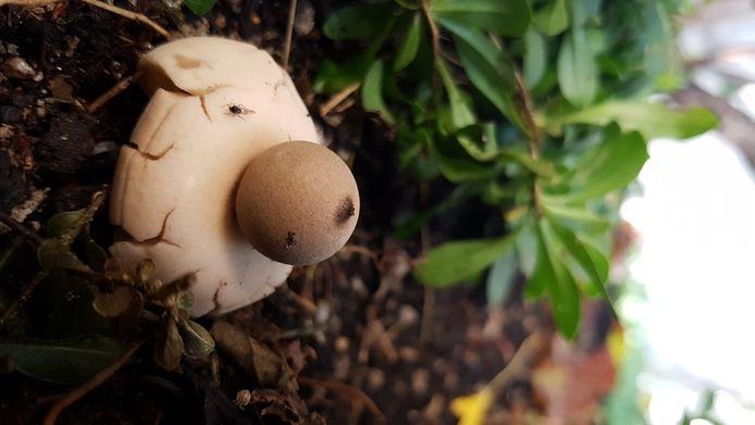 Zou het bolletje er los op zitten? Vast niet. Dinie Megens uit Etten-Leur vond deze zwam in haar tuin.