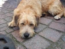 Grote zoekactie naar in Nuenen ontsnapte hond Guus, kilometervreter zit langs de N279