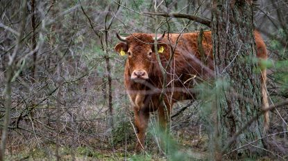 Ontsnapte koe Hermien krijgt paar weken rust, eigenaar heeft dierenarts afgebeld