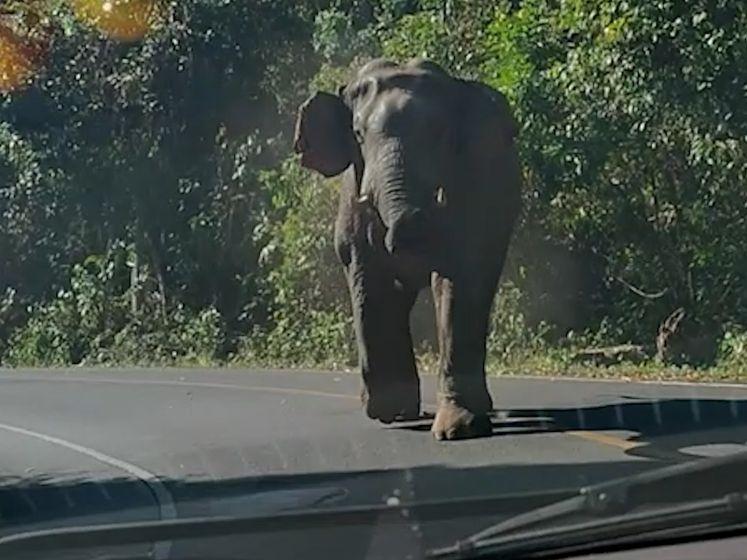 Olifant maakt komaf met ongewenste bezoekers