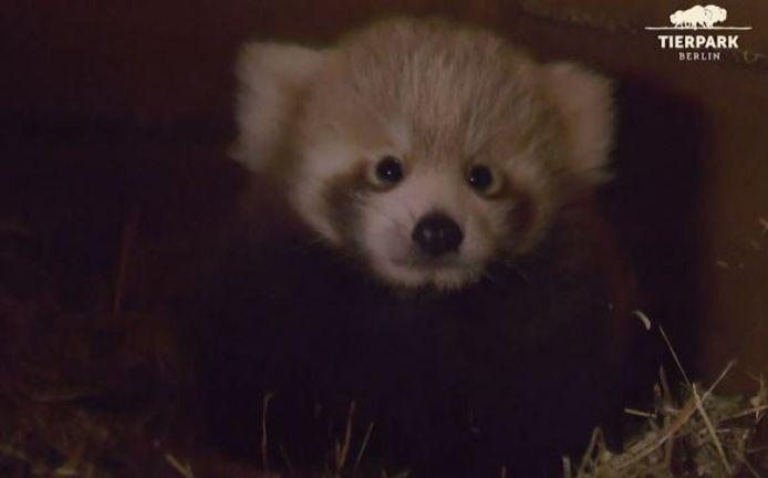 Le sexe du panda roux n'est pas encore connu