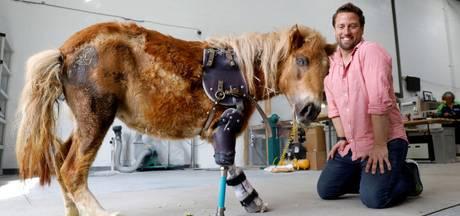 Pony kan weer lopen dankzij prothese