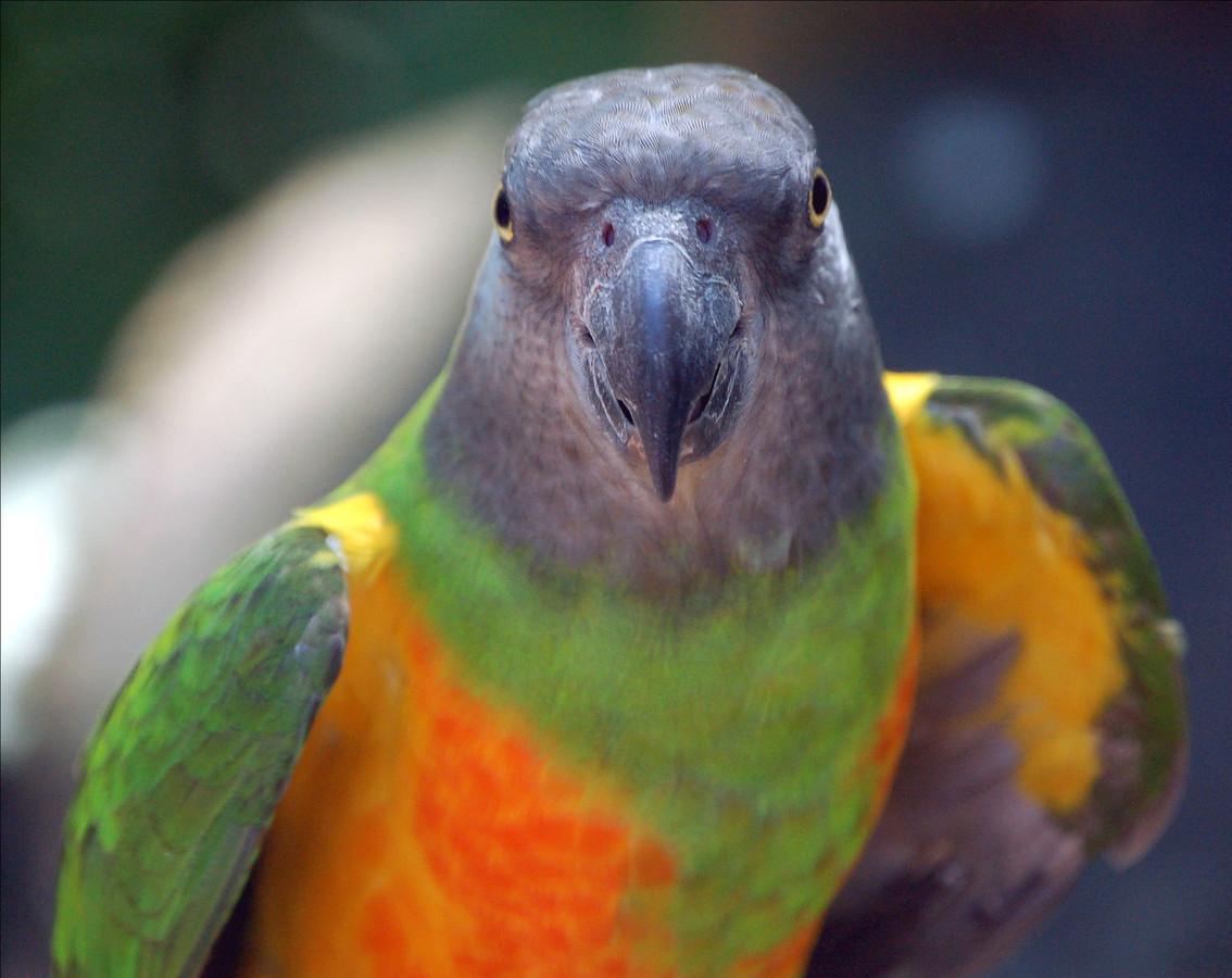 Een kromsnavel papegaai.
