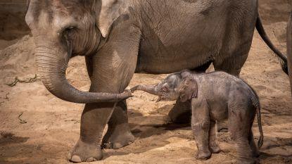 Zo kwam het baby-olifantje van Planckendael ter wereld
