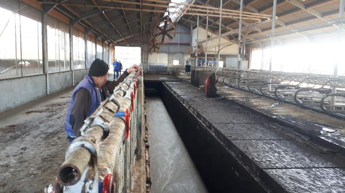 Freek ter Weele kijkt in de sleuf met mest, waarin 13 van zijn koeien verdronken. De bodemplaten werden door de explosie weggeslagen.