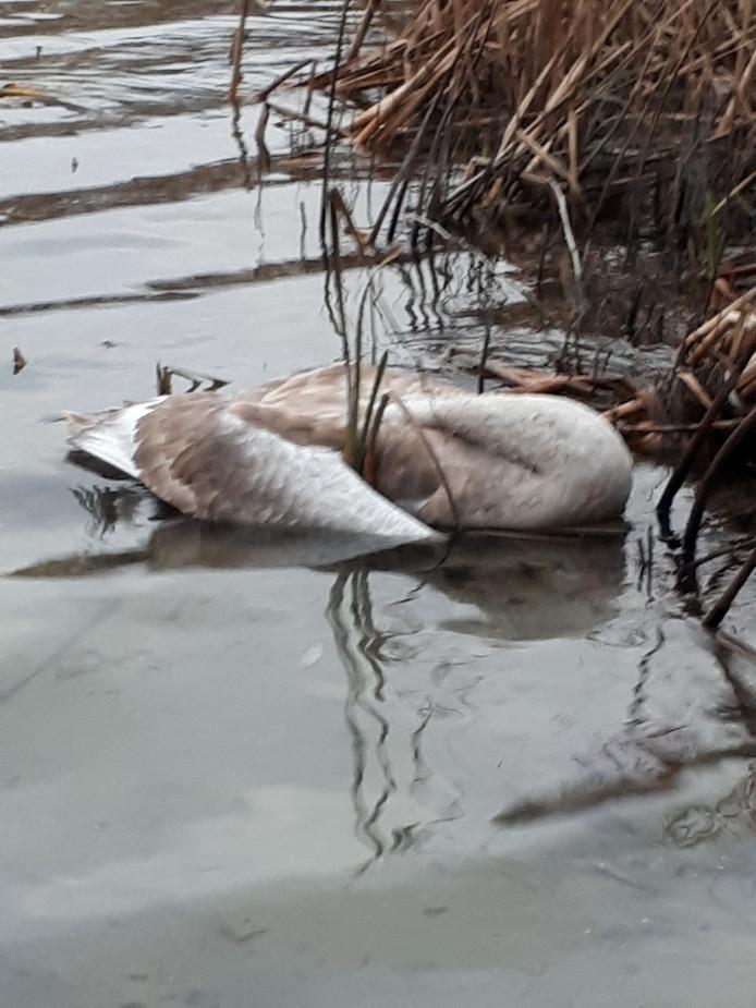 Ook nabij het ijsbaanterrein werd een dode zwaan gevonden.