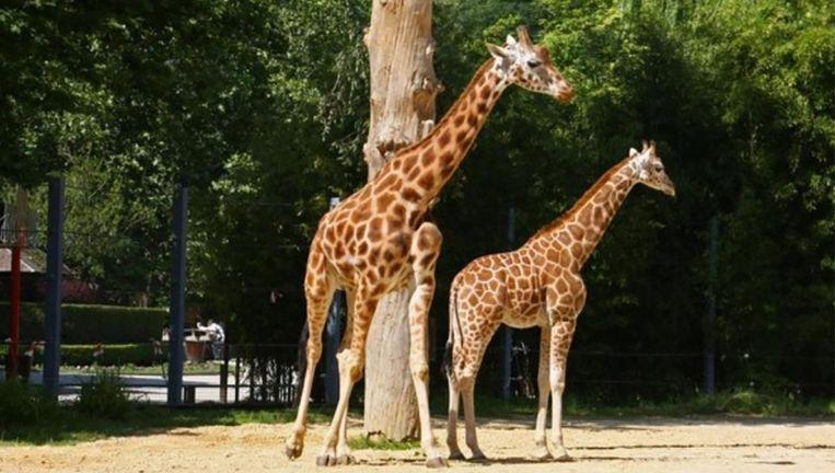 Een Gek Dier De Giraf: Giraf Dana Overleden In Zoo Antwerpen