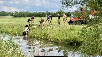 Brandweer redt verdwaalde koe uit Barebeek
