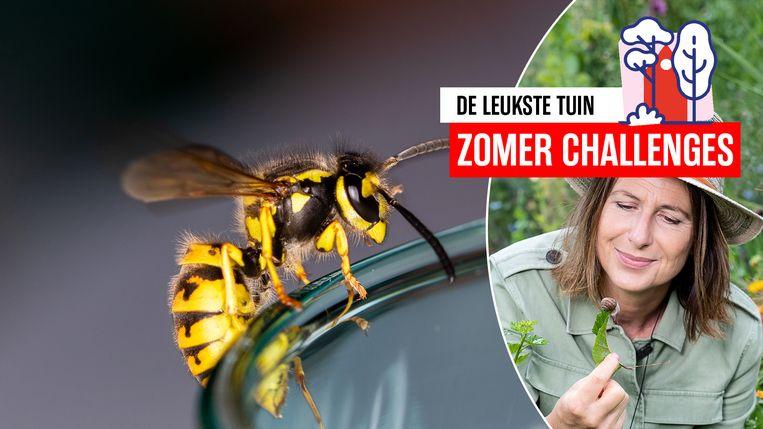 Na midden juli gaan wespen heel actief op zoek naar suikers.