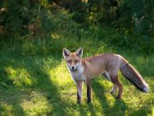 Un renard tué par deux chiens au parc de Forest
