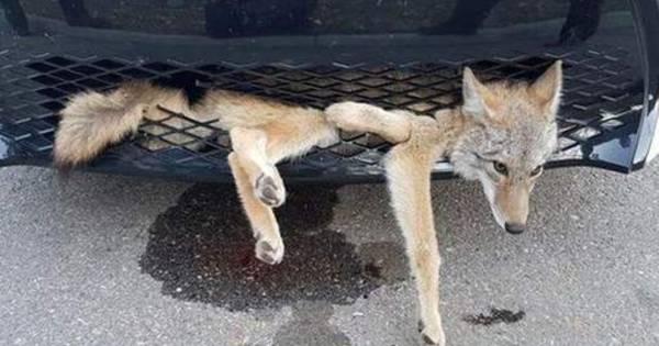 Canadese coyote overleeft rit van 35 kilometer in autogrille