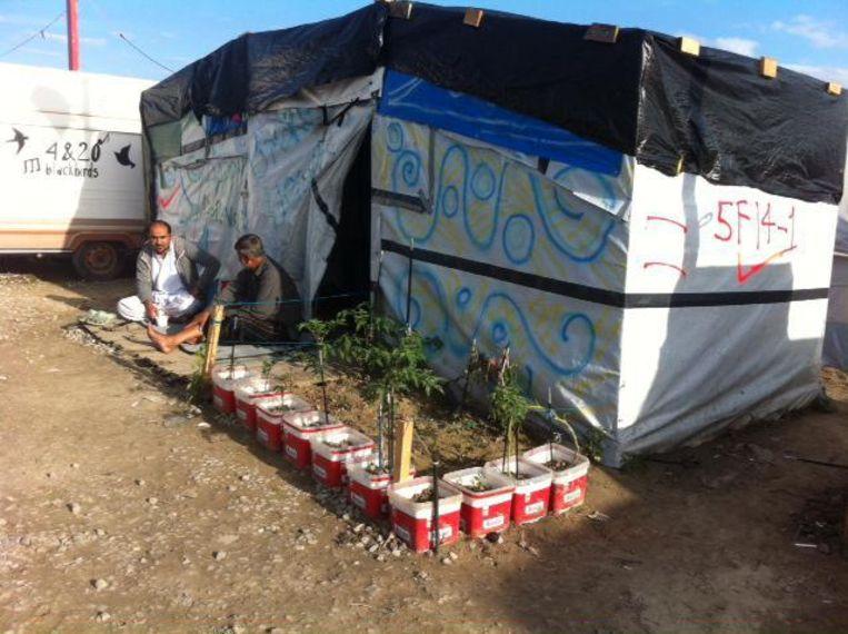 Afghaanse vluchtelingen voor hun tent, bij hun tomatenplanten, twee weken geleden in de jungle van Calais.