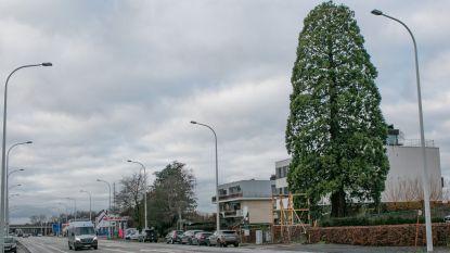 """""""Sequoia is onnodig gekapt"""": conclusie van vijf boomexperten"""