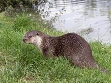 Otter nu ook in het westen van de Noordoostpolder
