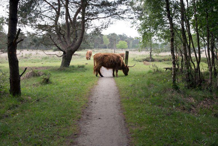 Schotse hooglanders lopen in Holtingerveld. Beeld Hollandse Hoogte / Herman Engbers