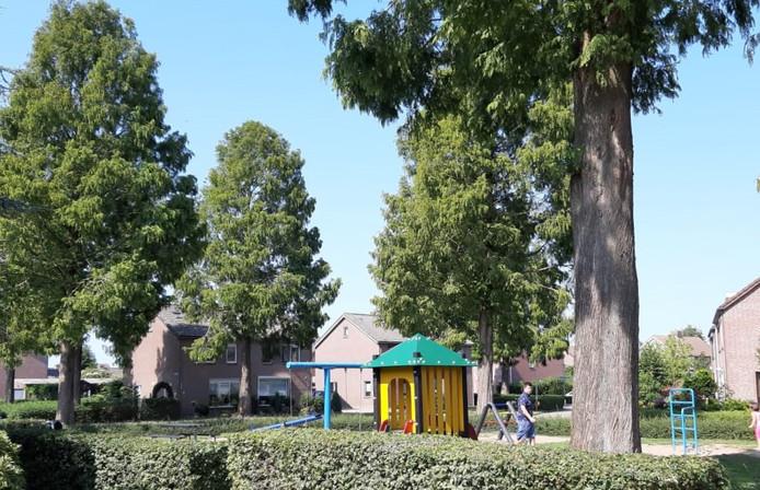 Sequoia's aan Dorestede die volgens sommige bewoners overlast geven. Zij trokken daarover aan de bel bij de gemeente Rucphen, die gaat nu de meningen peilen over een oplossing.