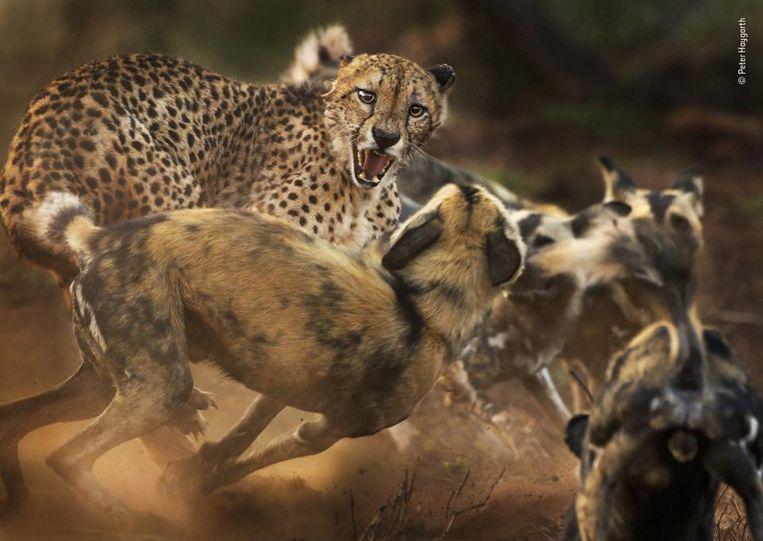 De kwaadste. Een jachtluipaard heeft het aan de stok met een groep wilde honden in Zuid-Afrika