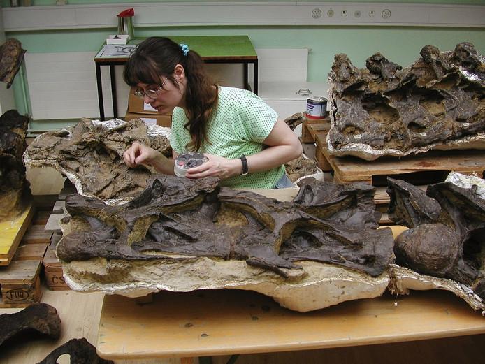 De botten van de Diplodocus liggen al in Boxtel.