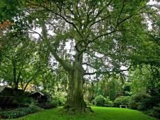 Zoete kers in Reek: eerste nieuwe monumentale boom van Landerd