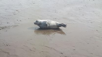 Jonge zeehond rust uit op strand van Westende-Bad