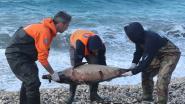 Ongewoon veel dode dolfijnen spoelen aan op Griekse kust, natuurbeschermers wijzen met beschuldigende vinger naar Turkse marine