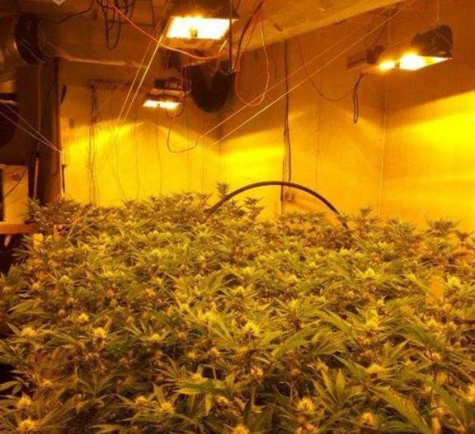 Er werden ruim 400 planten aangetroffen in de kwekerij.