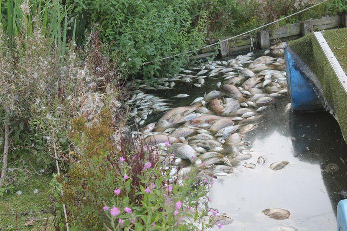 De dode vissen drijven op het wateroppervlak van de vijver.