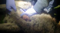Baby-kangoeroe gevonden in buidel dode moeder na verkeersongeluk