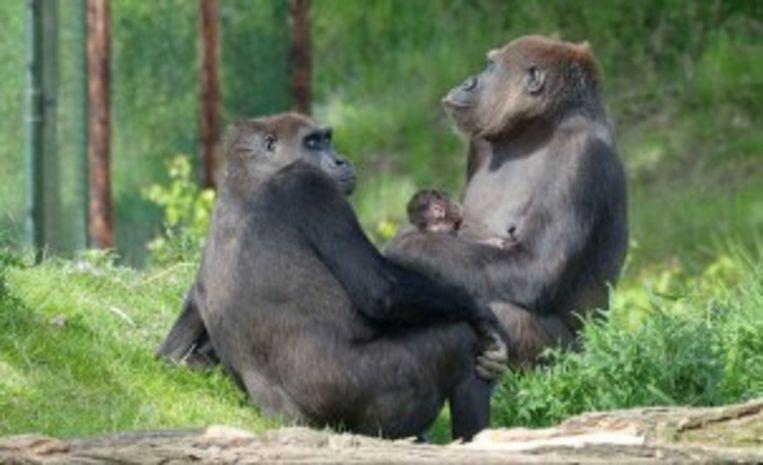 De babygorilla bij moeder Kisiwa