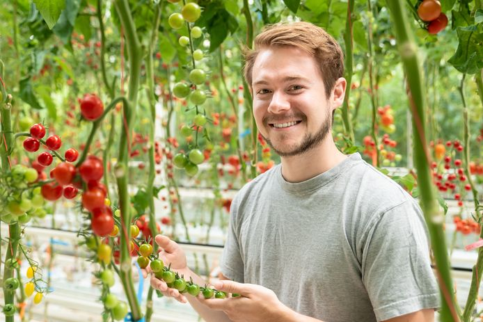 Tomatenveredelaar Daniël houdt zich bezig met het ontwikkelen van nieuwe tomatenrassen.