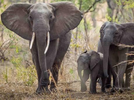 Namibië biedt 170 olifanten te koop aan