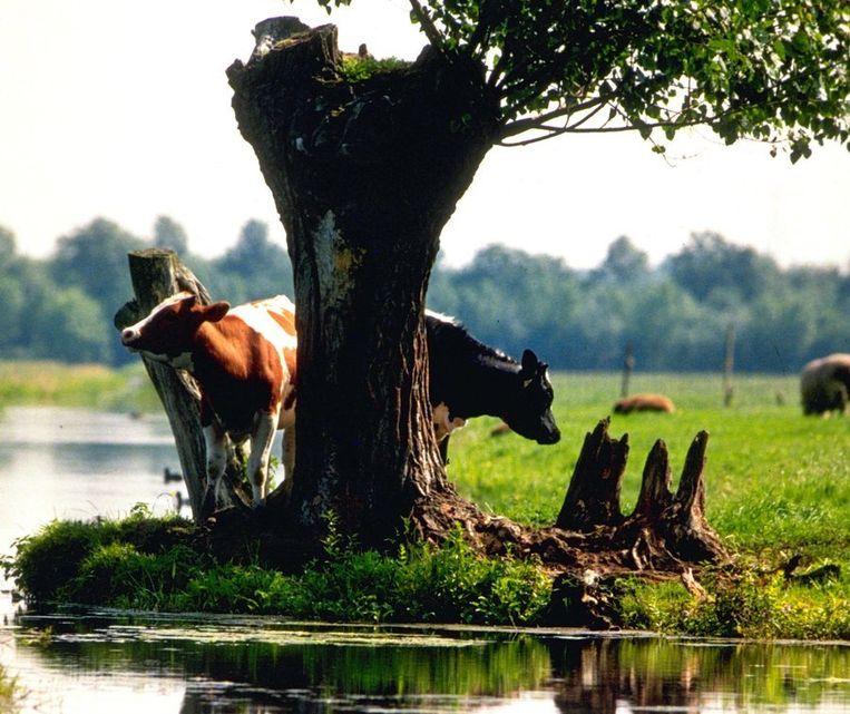 Koeien in de polder bij Kockengen. Beeld ANP