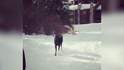 VIDEO. Eland jaagt op groepje skiërs in Colorado