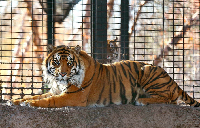 Tijger Sanjiv in de Topeka Zoo in Kansas City.