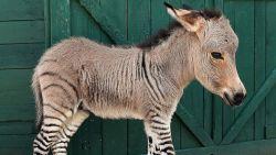 Dit is wat kan gebeuren als je zebra en ezel in dezelfde wei zet