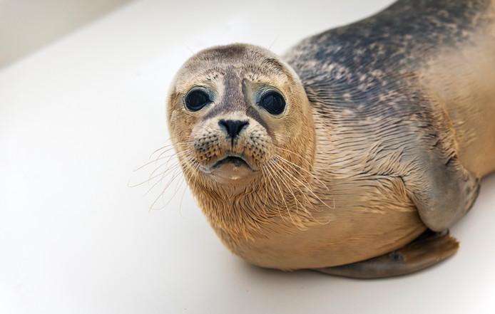 Opgevangen zeehond in Stellendam.